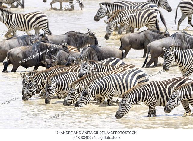 Common or Plains Zebra (Equus quagga) herd, drinking water with during the great migration, Ngorongoro crater national park, Tanzania