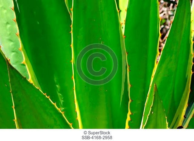 Brazil, Minas Gerais, Caraca, Plant In Agave Family, Close-Up
