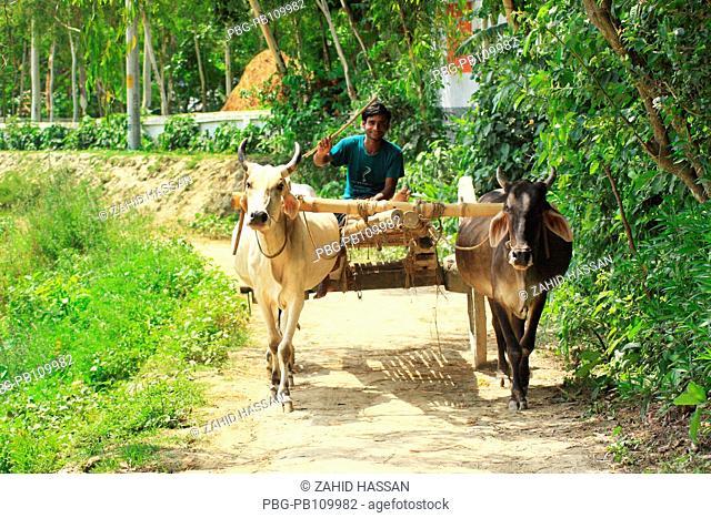 Man drives a bullock cart at Dhunat Bogra, Bangladesh May 2009