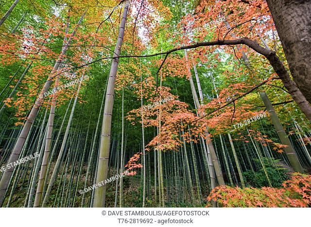 Autumn leaves and bamboo forest, Arashiyama, Kyoto, Japan