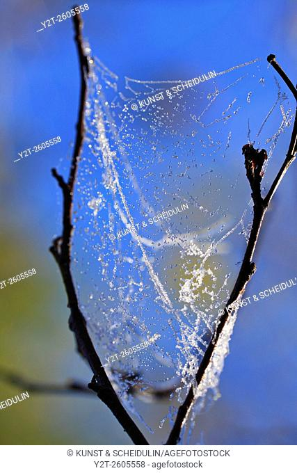Frost covered spider webs glittering on bare twigs