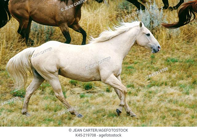 Palomino Horse. Ponderosa Ranch. Central Oregon. USA