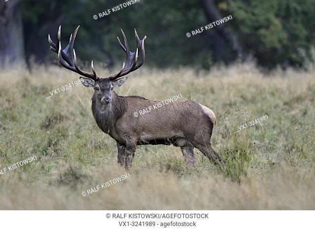 Royal stag, impressive Red Deer / Rothirsch ( Cervus elaphus ) on a clearing in the woods, watching back attentively, nice side view, Europe