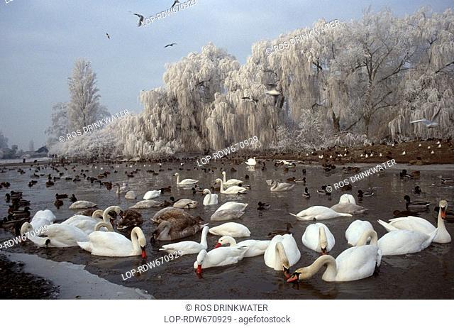 England, Gloucestershire, Slimbridge, Swans on a frozen lake at Slimbridge Wetland Centre, the birthplace of modern conservation