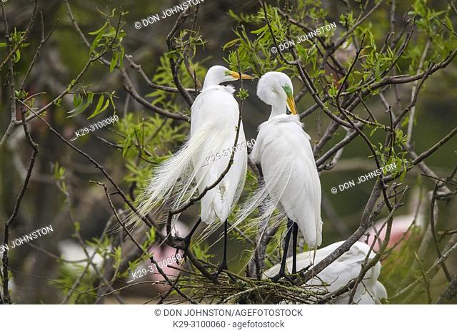 Great egret (Casmerodius albus, Ardea alba, Egretta alba), Smith Oaks Audubon Rookery, High Island, Texas, USA