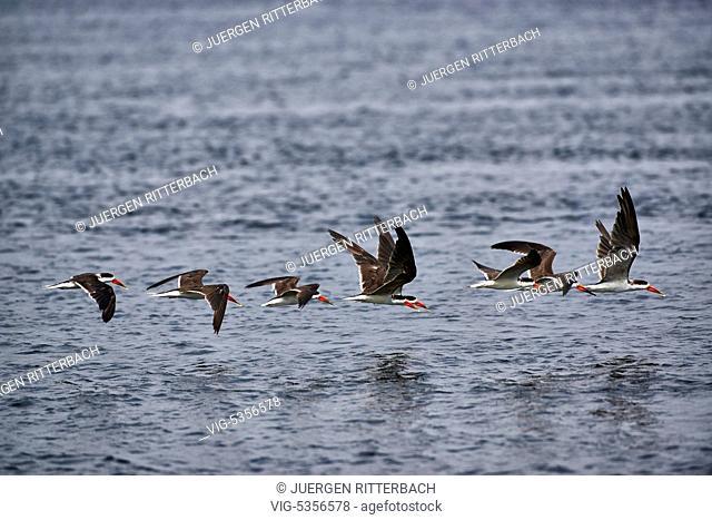 swarm African skimmer, Rynchops flavirostris, Murchison Falls National Park, Uganda, Africa - Uganda, 10/02/2015