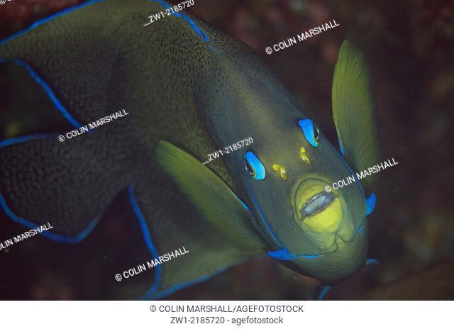Semicircle Angelfish (Pomacanthus semicirculatus), Pillarstein dive site, Padar Island, Komodo National Park, Indonesia