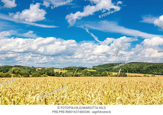Wheat field between Dankelshausen and Bühren, Samtgemeinde Dransfeld, Göttingen District, Lower Saxony, Germany, summer 2017 / Weizenfeld zwischen Dankelshausen...