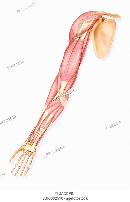 The muscles of the right upper limb - anterior view