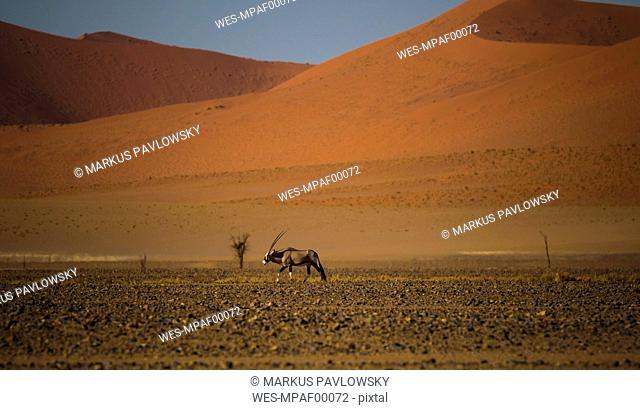 Namibia, Oryx antelope walking in Namib desert