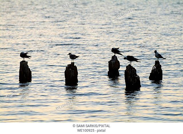 Seagulls perched on wooden posts in Cienfuegos Bay at sunrise seen from Punta Gorda, Cuba