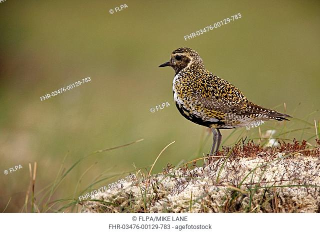 Eurasian Golden Plover Pluvialis apricaria adult, summer plumage, standing on moorland, Scotland, summer