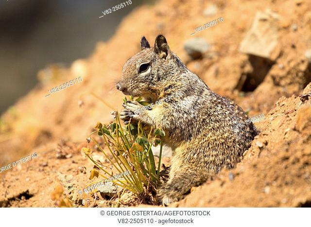 Ground squirrel, Hearst San Simeon State Park, California