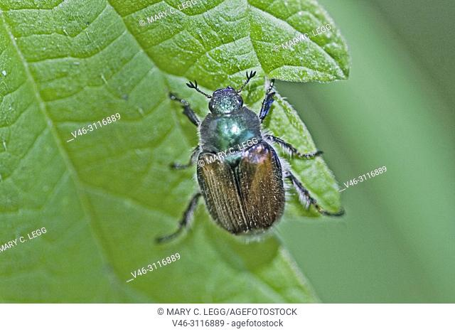 Garden Foliage Beetle, Phyllopertha horticola. Garden Chafer. 8. 5-12 mm length. Metallic green pronuntum and head with chestnut body