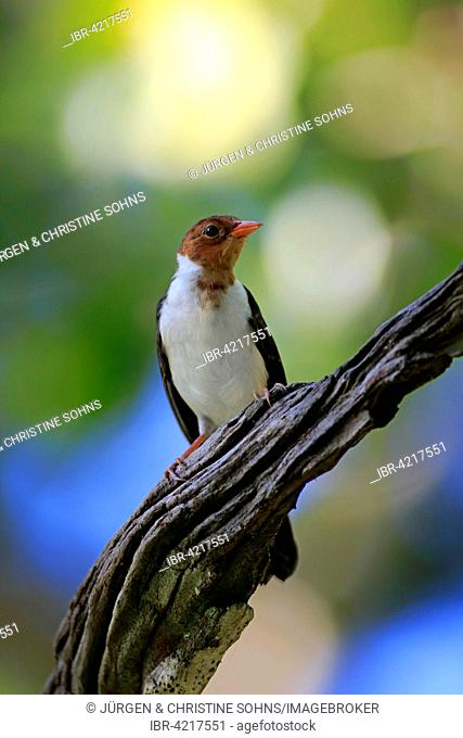 Yellow-billed cardinal (Paroaria capitata), young bird on the lookout, Pantanal, Mato Grosso, Brazil