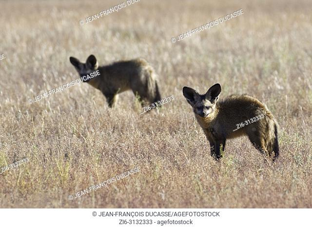 Bat-eared foxes (Otocyon megalotis) standing in dry grass, curious, Kgalagadi Transfrontier Park, Northern Cape, South Africa, Africa