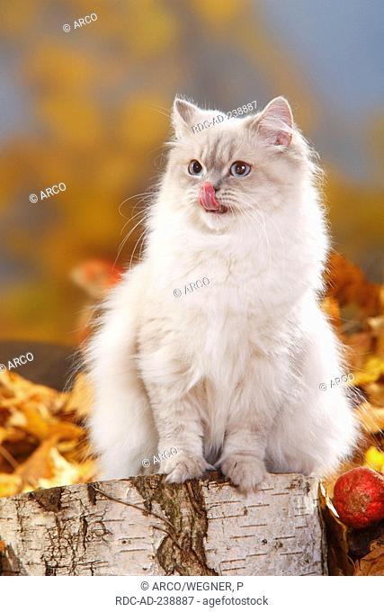 British Longhair Cat, blue-silver-tabby-point / Highlander, Lowlander, Britanica