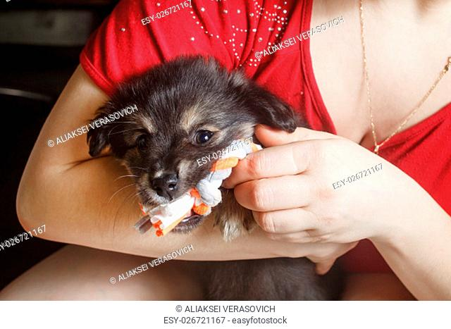 Adorable cute black puppy dog sitting in female hands and gnawing a toy