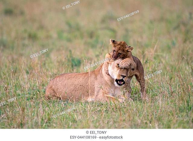 A lion cub plays with female lion in Masai Mara Game Reserve, Kenya