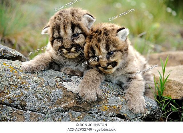 Mountain lion Felis concolor kittens. Captive animal