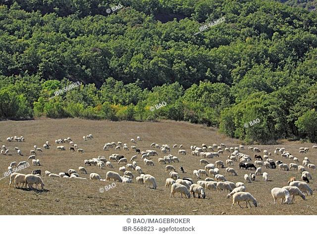 Sheep herd near San Quirico d' Orcia, Crete, Tuscany, Italy