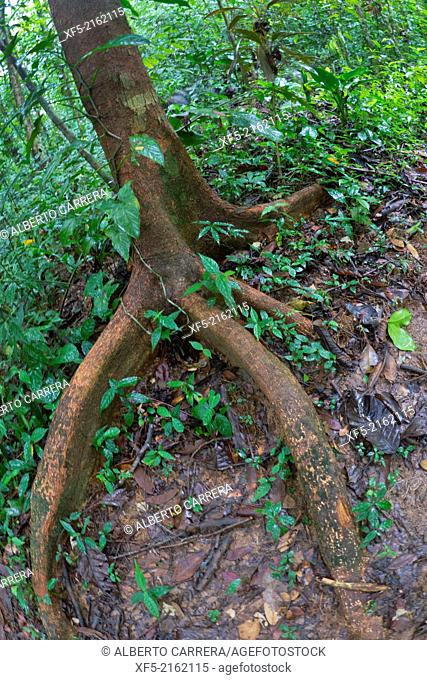 Tropical Rainforest, Marino Ballena National Park, Uvita de Osa, Puntarenas, Costa Rica, Central America, America