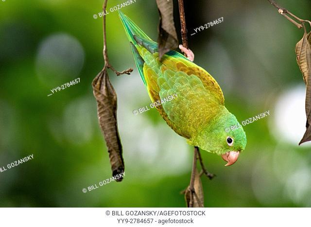Orange-chinned Parakeet - Boca Tapada, San Carlos, Costa Rica