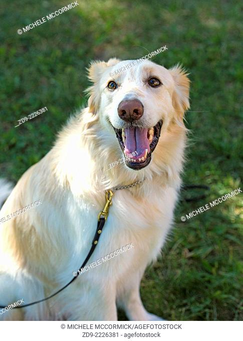 This golden retriever mix is full of the joy of life