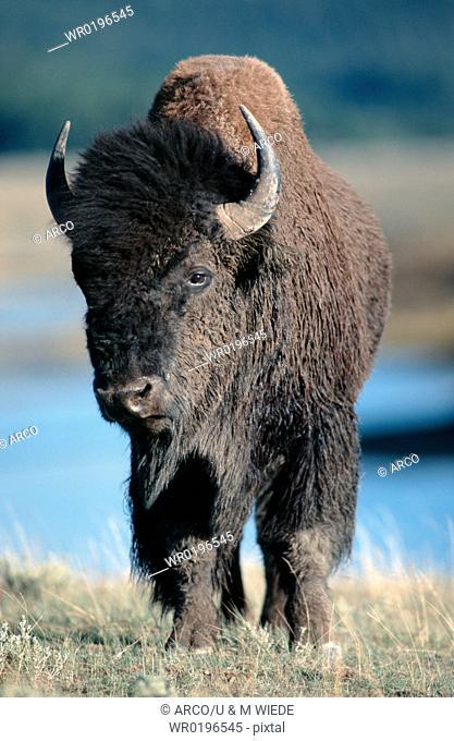 American, Bison, Yellowstone, national, park, USA, Bison, bison