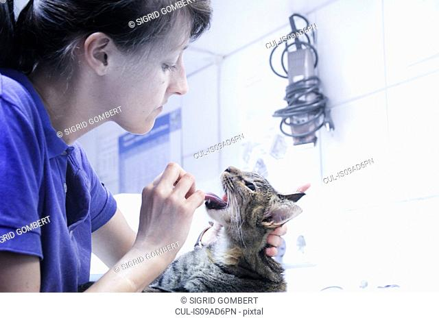 Vet treating domestic cat, looking in mouth