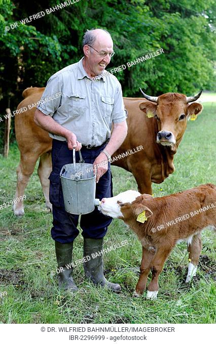Farmer feeding a newborn calf in a meadow, Upper Bavaria, Bavaria, Germany, Europe