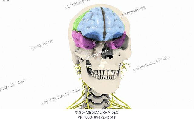 Animation depicts the lobes of the brain indicated by color. The skeleton and central nervous system are also visible. The camera zooms towards the skull