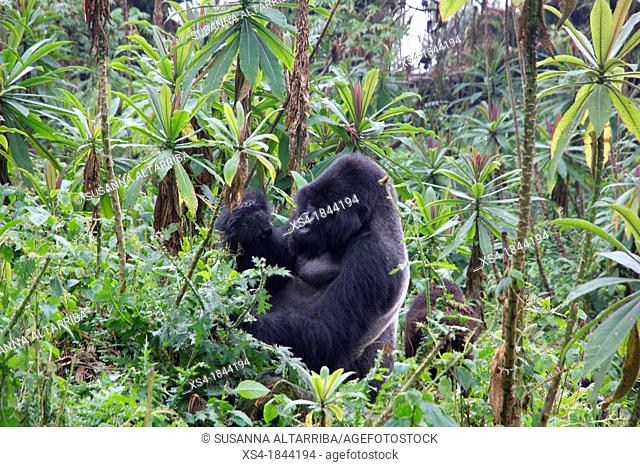 Mountain gorilla, Gorilla beringei beringei, are one of the most endangered species in the world, scientifics estimate that their are only around 700...