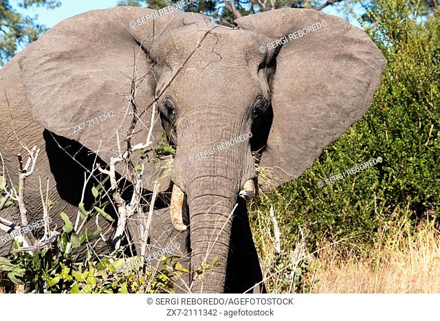 """A copy of adult elephant walks near Savute Elephant Camp by Orient Express in Botswna in Chobe National Park . The King can not hunt elephants in Botswana"