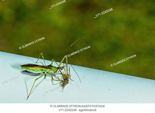 Assassin Bug (Zelus luridus) Feeding on Mosquito