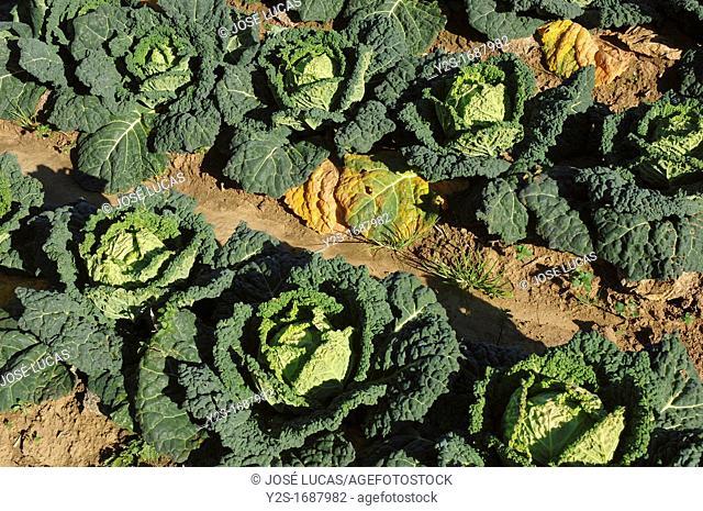 Kale, Savory cabbages, Talavera la Real, Badajoz-province, Spain