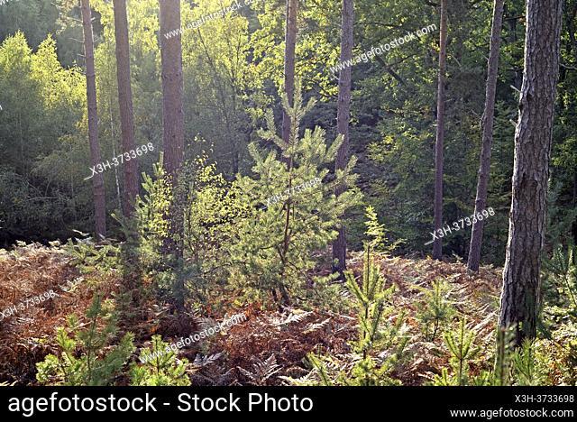 Pinewood, Forest of Rambouillet, Haute Vallee de Chevreuse Regional Natural Park, Yvelines department, Ile de France region, France, Europe