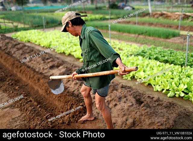 Organic vegetable gardens in Tra Que Village. Farmer digging soil with hoe. Hoi An. Vietnam