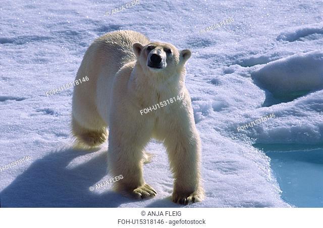 Polar bear Ursus maritimus walking on drift ice and looking towards camera. North of Nordaustlandet, Svalbard Archipelago, High Norwegian Arctic