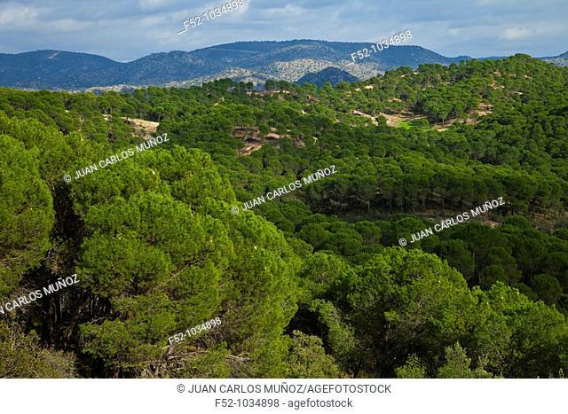 Pinewoods and Oaks Trees. Sierra de Andújar Natural Park. Jaén province. Andalucía. Spain