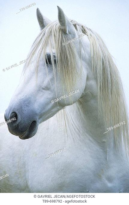 Portrait of Camargue horse