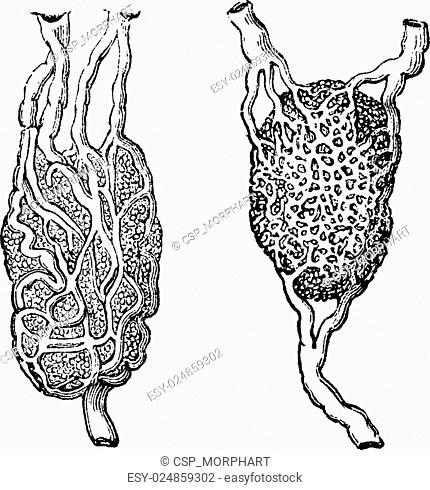 Lymph nodes, vintage engraving