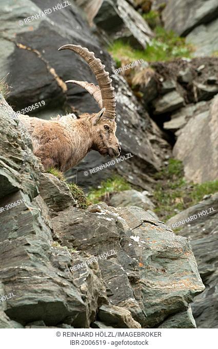 Alpine ibex (Capra ibex), male, Hohe Tauern National Park, Carinthia, Austria, Europe
