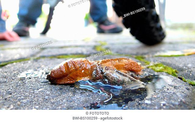 Red slug, Large red slug, Greater red slug, Chocolate arion, European red slug (Arion rufus, Arion ater ssp. rufus), override single animal