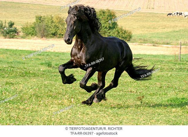 running friesian