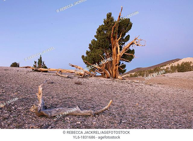 A dead branch of an Ancient Bristlecone Pine tree