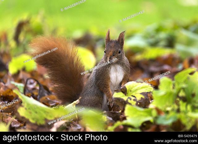 Squirrel (Sciurus vulgaris), wildlife, Germany, Europe