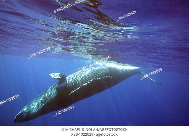 Curious sub-adult female humpback whale Megaptera novaeangliae interacting by rolling and approaching time and again in the AuAu Channel, Maui