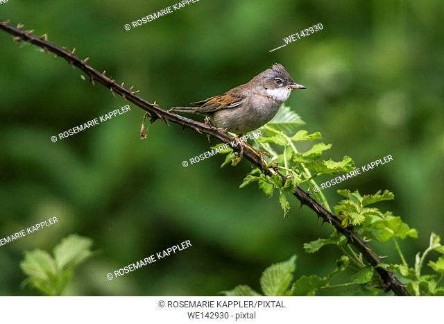 Germany, saarland, homburg - Germany, saarland, homburg - A common whitethroat is sitting on a branch