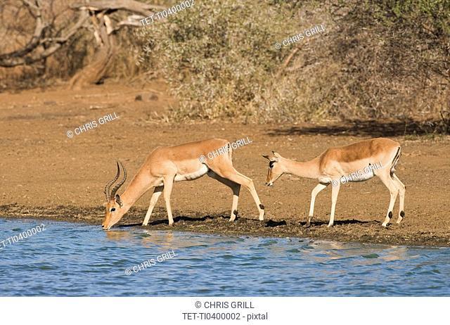 Wild impalas drinking from lake